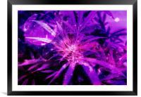 Purple Fantasy Bud, Framed Mounted Print