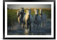 White horses running through water - camargue, Framed Mounted Print