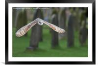 barn owl in flight, Framed Mounted Print