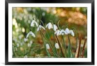 """""""Snowdrops in the sun 2 """", Framed Mounted Print"""