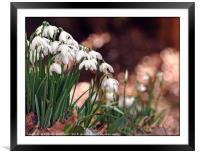 """""""Snowdrops in the pink"""", Framed Mounted Print"""