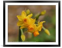"""""""Happy Easter Daffodils"""", Framed Mounted Print"""