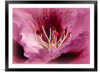 """""""In the pink"""", Framed Mounted Print"""