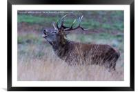 Rutting Red Deer Stag, Framed Mounted Print