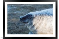 Young Grey Seal at Donna Nook, Framed Mounted Print