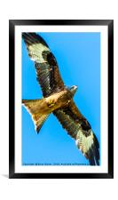 Red Kite Soaring in Blue Sky, Framed Mounted Print