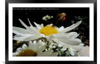 Landing on a nice flower,, Framed Mounted Print