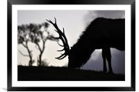 elk stag feeding at sunset, Framed Mounted Print