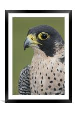 Peregrine Falcon (Falco peregrinus), Framed Mounted Print