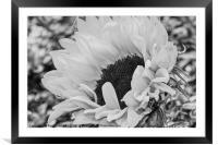 Sunflower, Framed Mounted Print