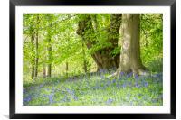 Bluebells beneath Beech trees, Framed Mounted Print