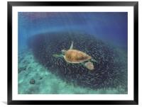 Swimming with fish and turtles Curacao views , Framed Mounted Print