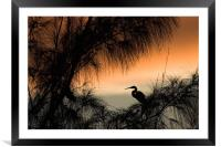 Home to Roost. A Snowy Egret (Egretta thula), Framed Mounted Print