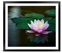 Water Lily, Framed Mounted Print