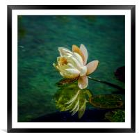 Water Lily after rain, Framed Mounted Print