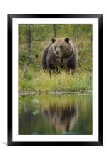 Brown bear in Finland, Framed Mounted Print