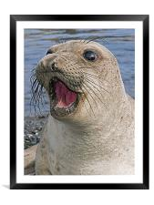 Female Northern Elephant seal, Mirounga angustiros, Framed Mounted Print