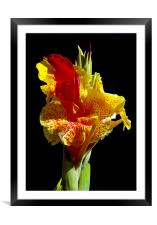 Canna Lily, Framed Mounted Print