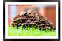 Mushrooms in morning dew, Framed Mounted Print