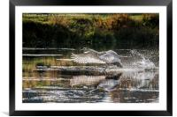 Juvenile Mute Swan Treading Water, Framed Mounted Print