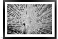 White Peacock Displaying, Framed Mounted Print