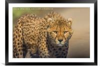 Cheetah, Framed Mounted Print