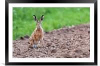 Wild hare sat staring at camera, Framed Mounted Print