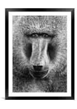 Baboon Face in Black and White, Framed Mounted Print