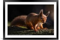 Red Squirrel at Derwent Reservoir , Framed Mounted Print
