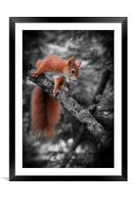 Red squirrel (Sciurus vulgaris), Framed Mounted Print