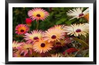 Livingstone Daisies (Mesembryanthemum) , Framed Mounted Print