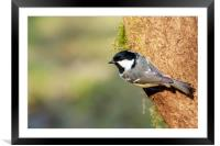 Coal Tit (Periparus ater)   , Framed Mounted Print