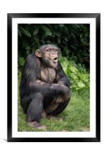 Chimpanzee        , Framed Mounted Print