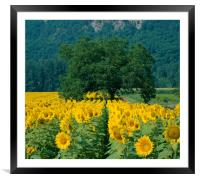 Sunflowers and Tree Dordogne France. , Framed Mounted Print