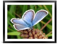 Common Blue, Framed Mounted Print