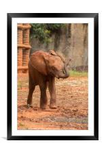 Baby  ช้างไทย, chang #3, Framed Mounted Print