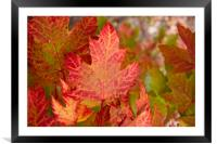 Canadian Fall Colours, Framed Mounted Print