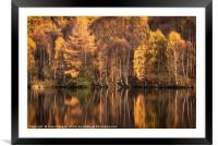 Autumn Birch, Framed Mounted Print