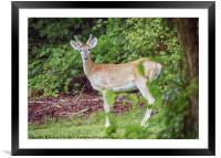 Young Buck in Velvet, Framed Mounted Print