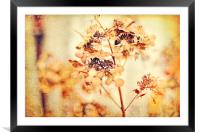 Hydrangeas in the autumn , Framed Mounted Print