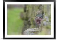 Little Owl, Framed Mounted Print