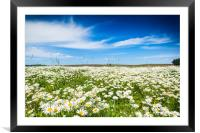 Chamomile field in summer sunny day, Framed Mounted Print