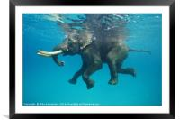 Swimming elephant, Framed Mounted Print