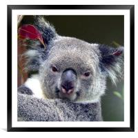 Koala, Framed Mounted Print