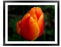 Tulip, Framed Mounted Print