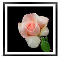 A Pink Rose, Framed Mounted Print