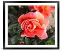 Raindrops on petals, Framed Mounted Print