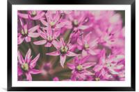 Allium Flowers Close Up, Framed Mounted Print