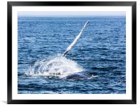 Whale, cape cod, Framed Mounted Print