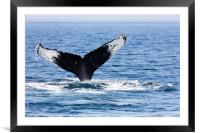 Tail of Whale, Cape Cod, Framed Mounted Print